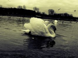 old swan by frimmi