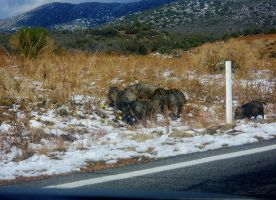 Javelinas in the Snow by SquirrelWitch
