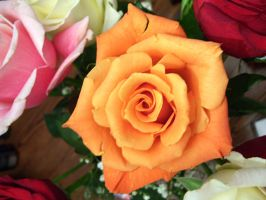 orange rose 4 by turtledove-stock