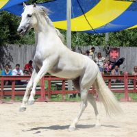 Andalusian Pre Rear by roar-shack-stock