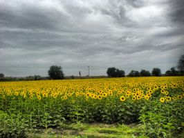 Sunflowers by buraaka