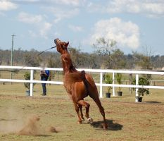 GE Arab chestnut trot head right up view behind by Chunga-Stock