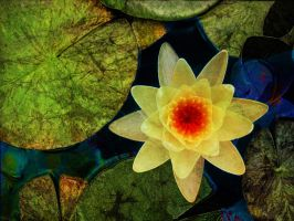 Yellow Waterlily by Tackon