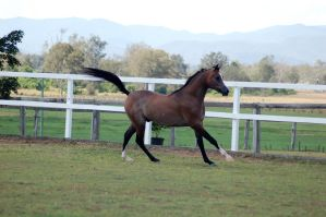 GE Arab rosegrey canter side view by Chunga-Stock