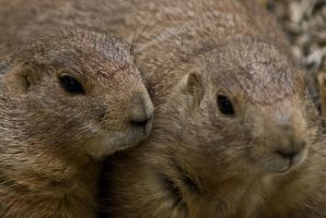 Prarie Dog Portrait by Dustinpg