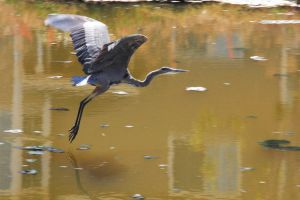 Blue Heron 1 by smfoley