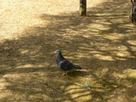 Pigeon by RiverKpocc