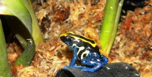 Dart Frog by Passion-For-Pictures