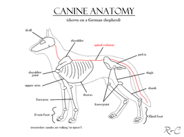Canine Anatomy Study by DarkRika