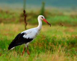 Stork by lica20
