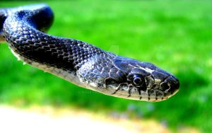 Black Rat Snake Portrait by NOSegal