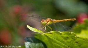 Dragonfly on a leaf - 2 by PrimalOrB