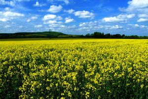 Rape Seed Field II by Teakster