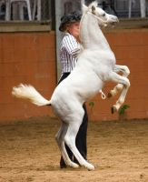 STOCK - 2014 Welsh QLD Show-132 by fillyrox