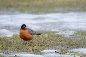 American Robin by GuillaumGibault