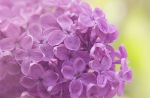 Lilac by PassionAndTheCamera