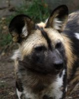 African Wild Dog 4 by FiatLupi