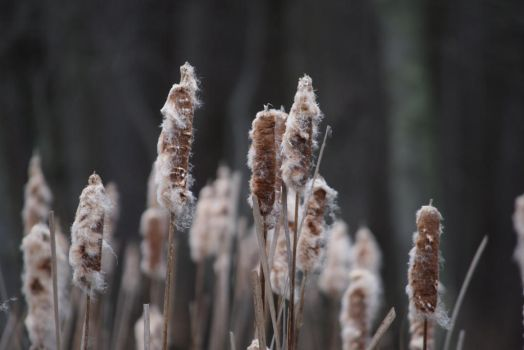 Cattails by Aponi06