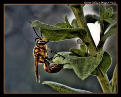 Great Golden Digger Wasp 08 by boron