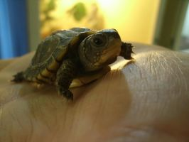 baby 3 toe box turtle by isaidno