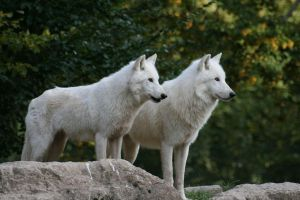 Two curious artic wolves by Nashoba67