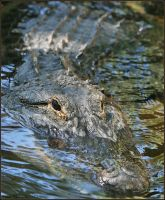 American Alligator by mydigitalmind