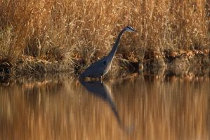 Heron reflection by bovey-photo