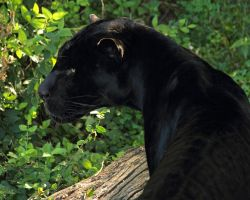 black jaguar19 by redbeard31