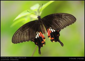 Papilio polytes romulus by log1t3ch