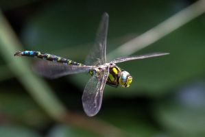 Flight of the Dragonfly 3 by LordGuardian