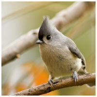 titmouse by rscorp