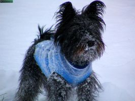 Miniature schnauzer in snow [II] by MannyDiax