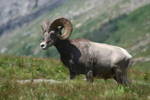 Majestic Bighorn by reflections22