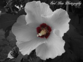 Rose of Sharon by GothicAmethyst