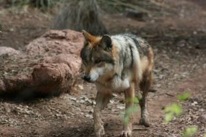 Mexican Grey Wolf 001 by FoxWolfPhoto