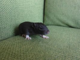 15 days old rat baby by were-were-wolfy
