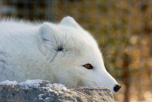 Arctic Fox on Rock by Eternalfall1