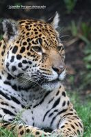 Jaguar by MorganeS-Photographe