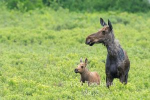 Mother Moose and Calf-DT7 3729-2 by detphoto