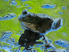 Frog in Green and Blu by Mogrianne