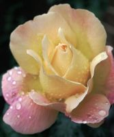 1pink rose by frendlygost