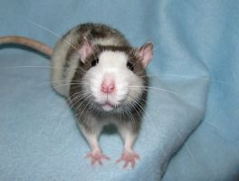 expedition whiskers by ratpackrattery