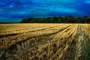 Evening Wheat by KevinWegner