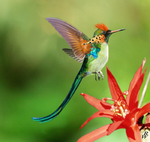 Tufted long tailed Hummingbird by Dwarf4r