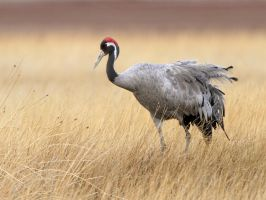Common Crane by Jamie-MacArthur