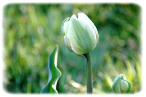 White tulip by garbo009