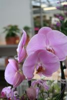 nice lilac orchids 3 by ingeline-art