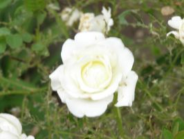 Miniature Rose by The--Enchantress