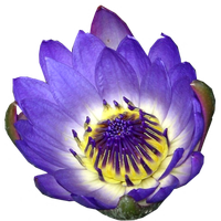 Blue Water Lily - top view by LilipilySpirit
