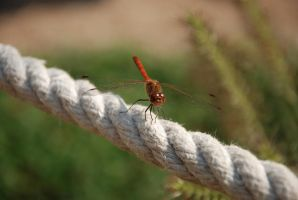 red dragonfly by hoshitsu